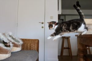 Cat jumping from a table to the sofa , caught in action